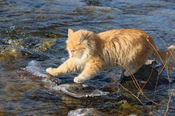Animals___Cats_Red_Cat_goes_over_the_river_044664_
