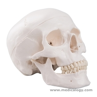 jual Classic Human Skull Model, 3 part