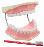 jual Giant Dental Care Model, 3 times life size